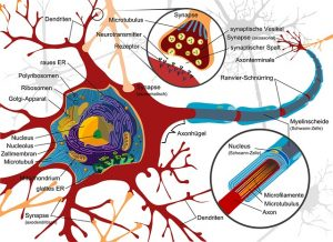 nerve-cell2